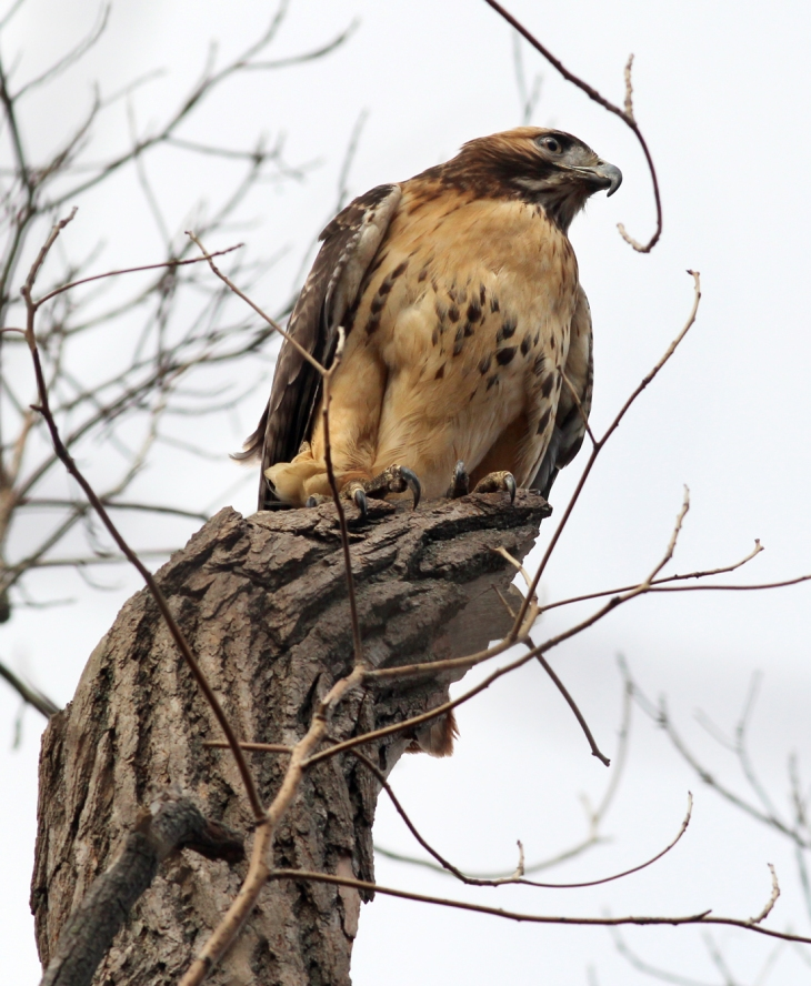 Red Tailed Hawk Perched bird of prey | Photo N...