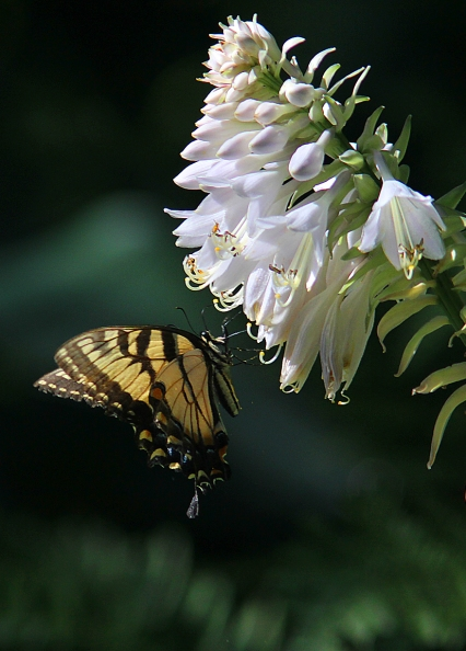 tigerswallowtail1