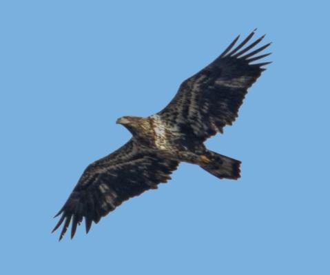 eagle1a
