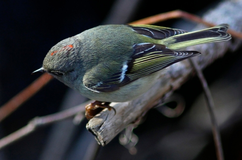 Ruby_Crowned_Kinglet1