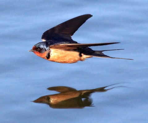 Barn_Swallow_1