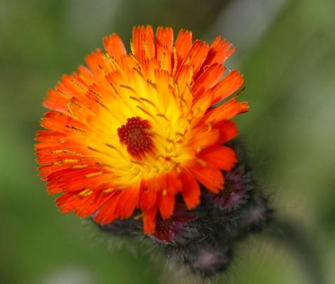 OrangeFlower1b