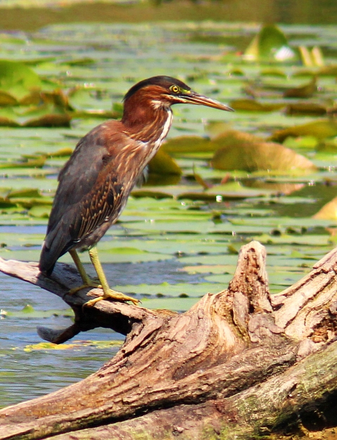 GreenHeron1