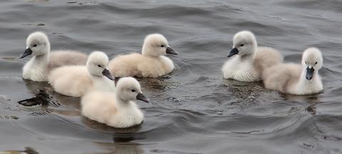 BabySwans