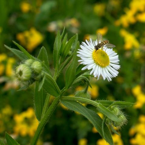 DaisyBee1