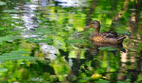 Green_Duck