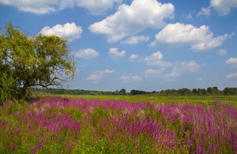 PurpleMarsh1a