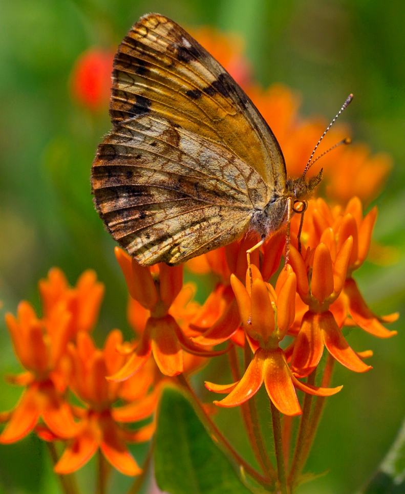 butterfly_weed
