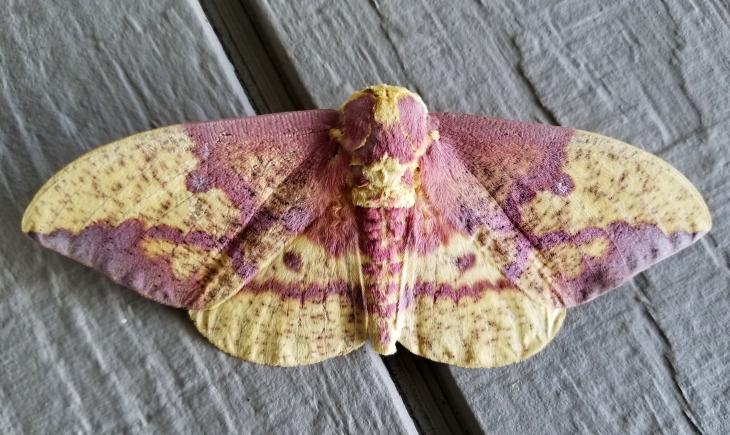 pink_moth