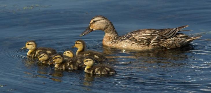 duck_swim